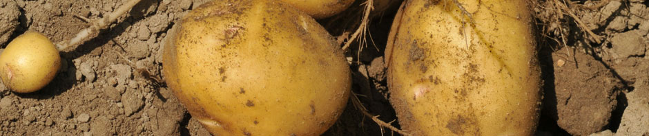yellow_potato_header